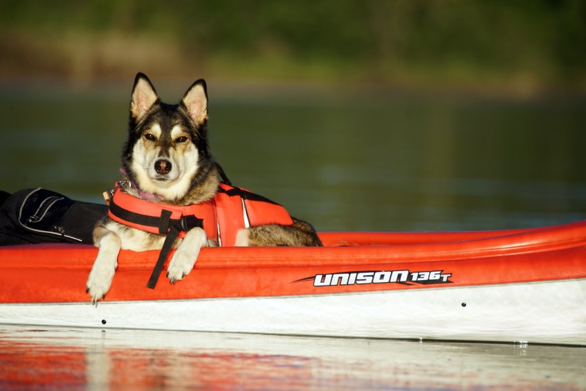 A husky sitting in a kayak with a life vest on